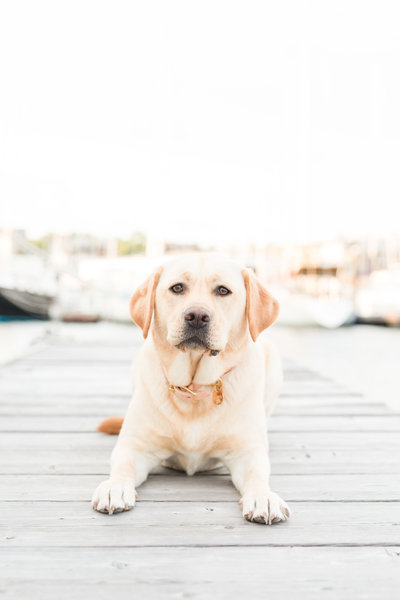 Labrador laying on dock in Boston marina
