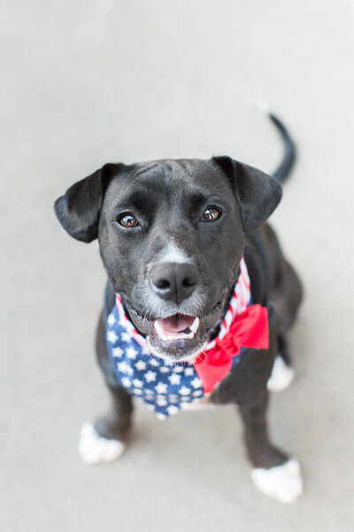 lab/boxer mix wearing Fourth of July bandana
