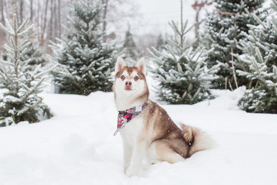 Toy Alaskan Klee Klai wearing a plaid scarf in the snow