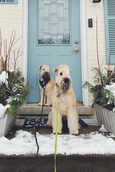 Willow and Watson, our Wheaten Terriers.