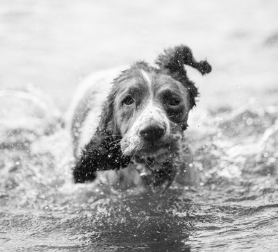 Springer Spaniel in water