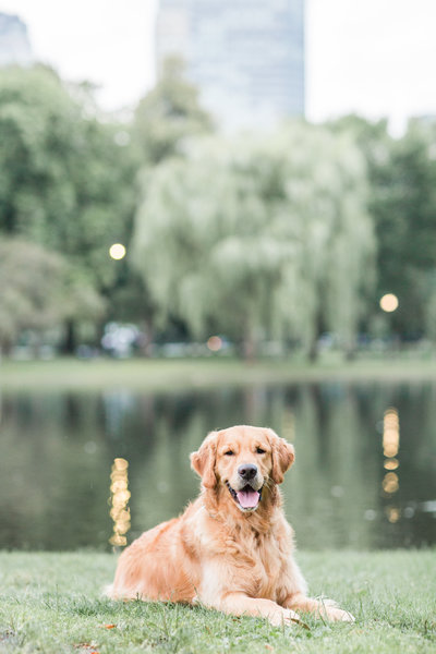 Golden Retriever laying in the Boston Public Garden