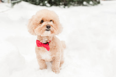 Poochon wearing bow tie in snow in Boston