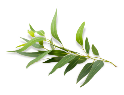 eucalyptus-transparent-background-5