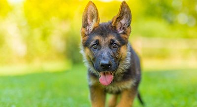 German-Shepherd-Price-HP-long