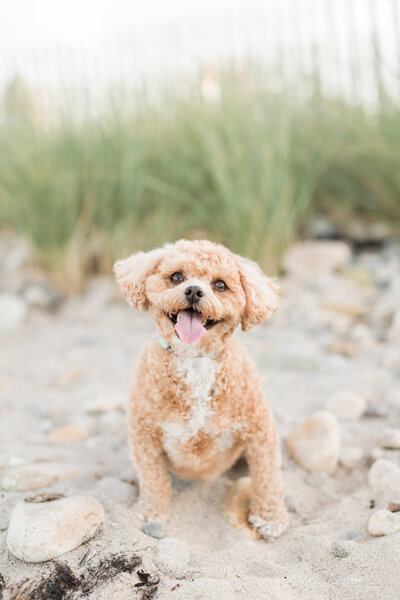 Shichonpoo sitting on beach