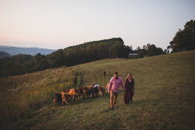 cows-engagement-session-virginia