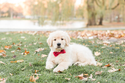 Golden Retriever Puppy in Boston Public Garden