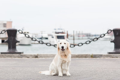 Golden Retriever sitting near the Boston Harbor