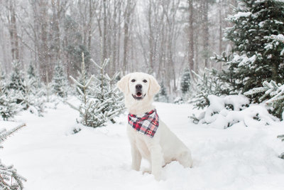 English Cream Golden Retriever wearing a plaid scarf