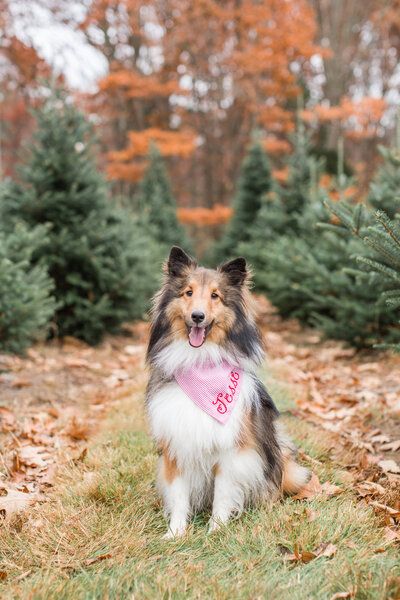 Sheltie wearing a scarf