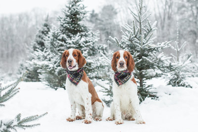 Two Welsh Springer Spaniels wearing plaid Christmas scarves