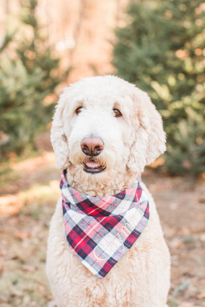 White Goldendoodle wearing a plaid scarf