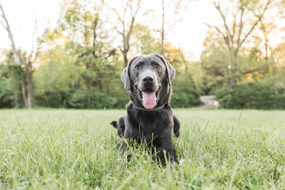 Silver Lab laying in a field