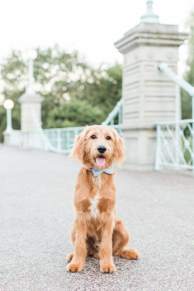 Mini Goldendoodle sitting on bridge in Boston Public Garden