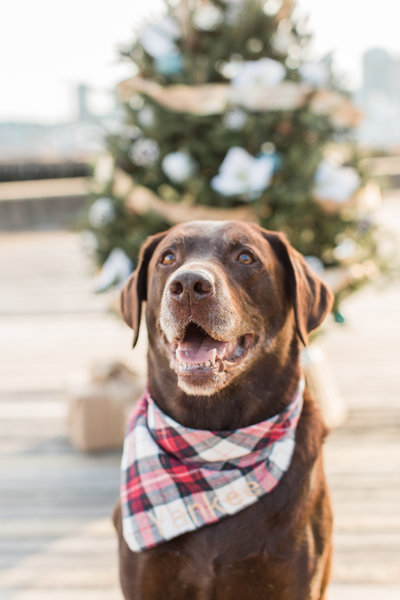Chocolate Lab wearing a plaid scarf