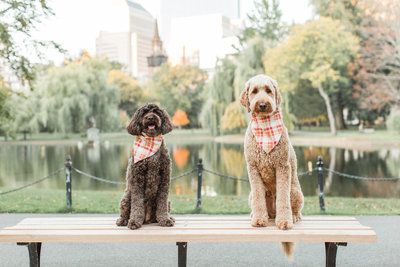 Two Goldendoodles sitting on a bench in the Boston Public Garden