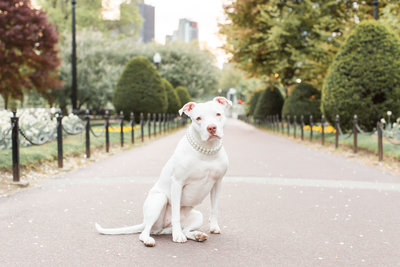 White Pitbull in Boston Public Garden