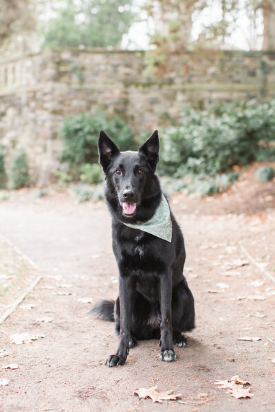 German Shepherd Collie Mix Rescue pup