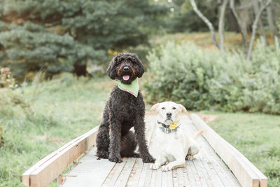 Two dogs sitting on a wooden path