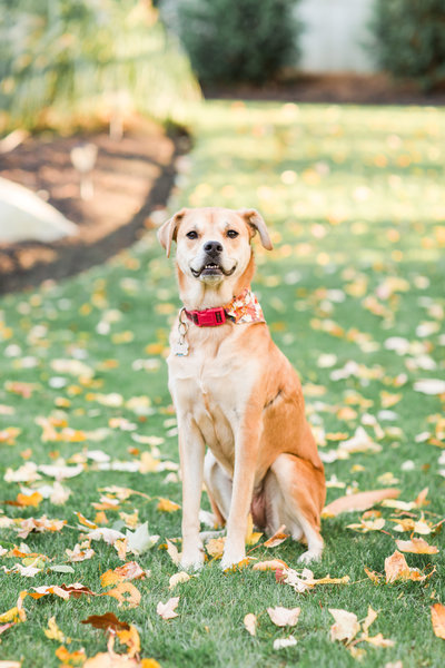 Terrier/Yellow Lab Rescue Dog