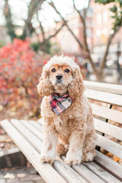 Cavapoo wearing a scarf sitting on a bench