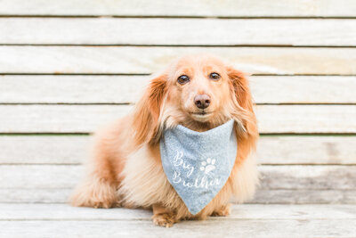 mini long-haired dachshund sitting on a bench