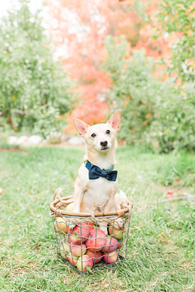 Jack-Chi sitting in basket of apples