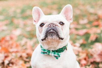 Frenchie wearing a bow tie