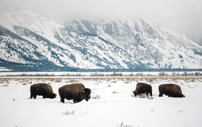 Four Snowy Buffalo