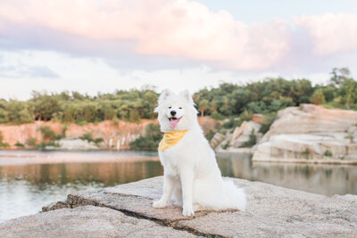 Samoyed sitting on cliff at Halibut Point Park