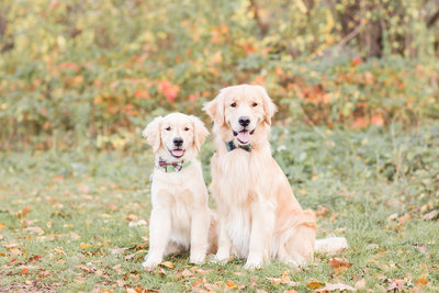 Two Golden Retrievers wearing bow ties