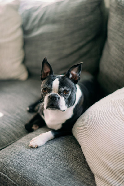 boston terrier sitting on couch