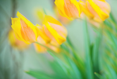 yellowtulipsabstract