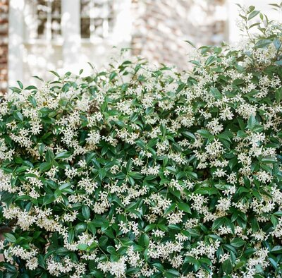 Charleston-South-Carolina-Photography-Prints-Meeting-Street-Jasmine