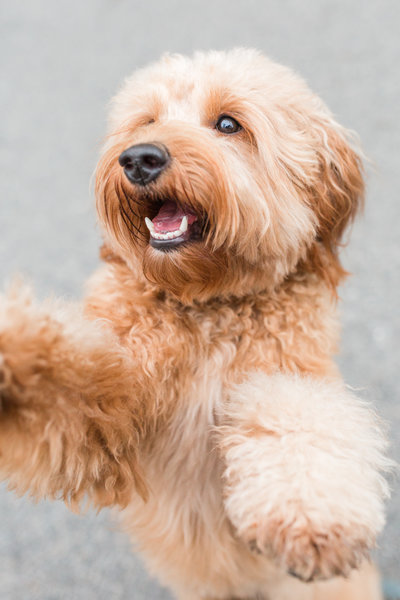 Mini Goldendoodle jumping at the camera
