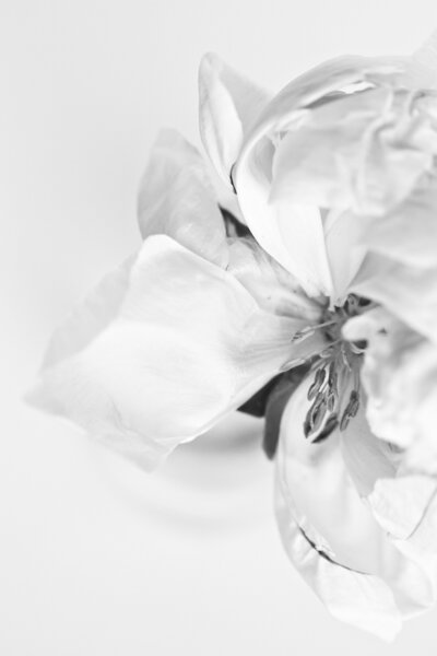 Black and white of white peony bloom by Brenda Landrum