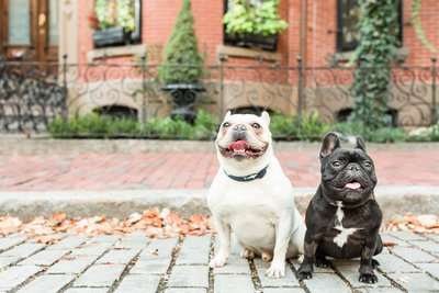 Two French Bulldogs sitting in South End