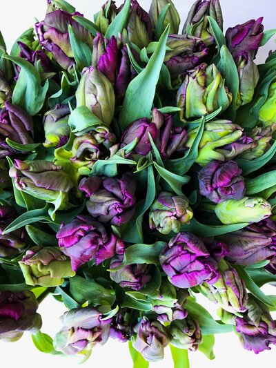 PARROT PURPLE TULIPS