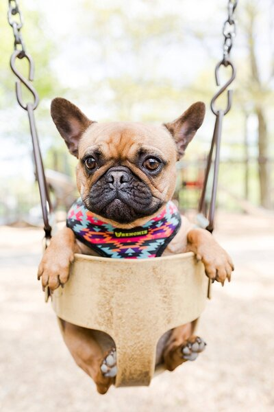 french bulldog sitting in a swing
