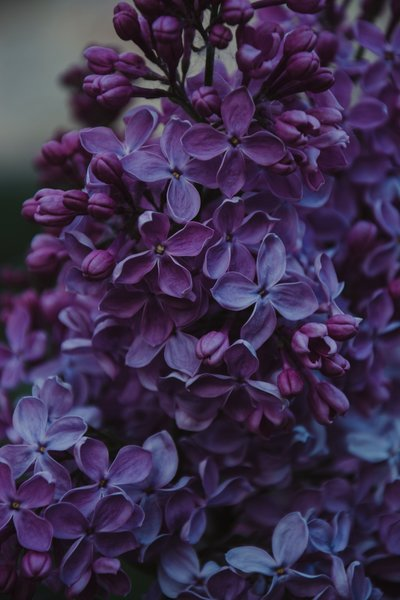 close-up-photo-of-purple-lilac-flowers-1381679 (1)