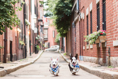 Two Corgis running in the streets of Beacon Hill