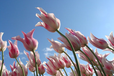 Canva - Pink-and-white Flowers