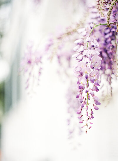 Beautiful freshly bloomed wisteria Photographed by Amy Mulder Photography