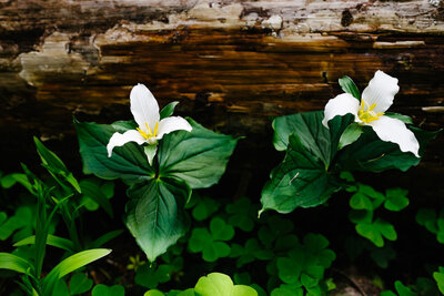 Oregon and Idaho Trillium wildflower