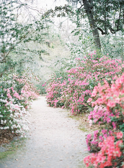 Beautiful brilliant freshly bloomed azaleas along winding path at Magnolia Plantation Photographed by Amy Mulder Photography