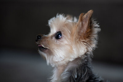 Tiny Yorkshire terrier profile