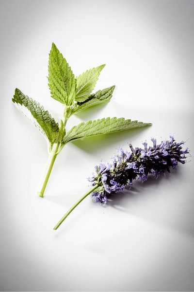 anise-hyssop-plant