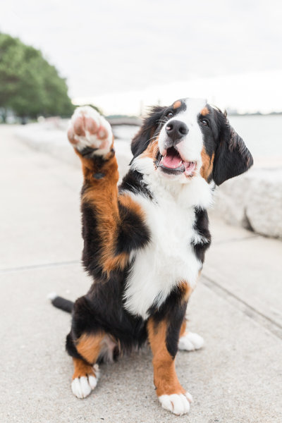 Bernese Mountain Dog puppy raising her paw