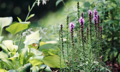 liatris and hosta